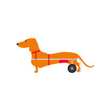 Dachshund on wheels Royalty Free Stock Images