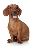 Dachshund on white background Royalty Free Stock Photography