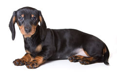 Dachshund on white background. Dachshund isolated on white background Royalty Free Stock Photography