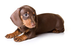 Dachshund on white background. Dachshund isolated on white background Stock Images