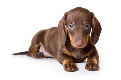 Dachshund on white background Royalty Free Stock Photo