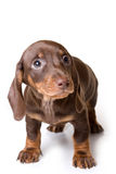 Dachshund on white background Stock Images