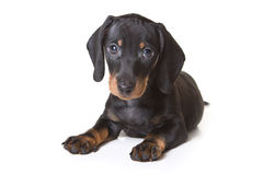 Dachshund on white background Stock Photography