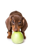 Dachshund on white background Stock Photo