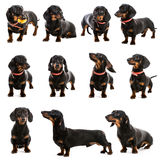 Dachshund on a white background Stock Photos
