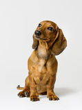 Dachshund on White, Brown Dog Front View Looking Up. Dachshund Isolated over White Background, Brown Dog Front View Looking Up Stock Photo
