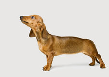 Dachshund on White, Brown Dog Looking Up Stock Photography