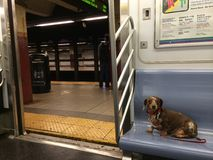 Dachshund Wiener Dog on the New York City Subway. Just a wiener dog alone on his travels Royalty Free Stock Photos