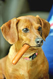 A Dachshund With A Wiener. Honey colored Dachshund chewing on a wiener Royalty Free Stock Images
