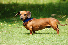 Dachshund in the wind royalty free stock photography