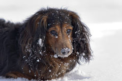 Dachshund in the snow Royalty Free Stock Photo