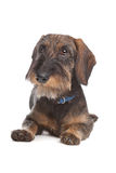 Dachshund Wire-haired imagem de stock royalty free