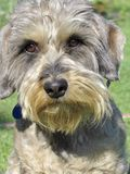 Dachshund Wire-haired Photo libre de droits