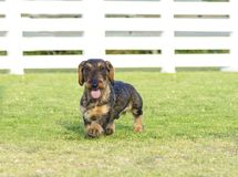 Dachshund (Wirehaired) Royalty Free Stock Images