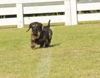 Dachshund (Wirehaired) Royalty Free Stock Image