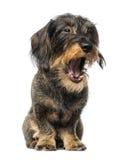 Dachshund yawning (8 years old) Royalty Free Stock Photography