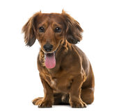 Dachshund (2 years old) in front of a white background Stock Photo