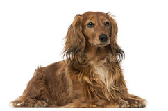 Dachshund (4 years old) Royalty Free Stock Photos