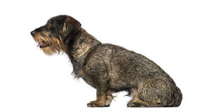 Dachshund (8 years old) Stock Photography