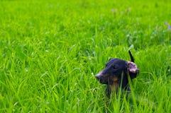 Dachshundhund auf dem grünen Gras stockbild