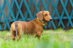 Dachshundhund auf dem Gras Stockfotos