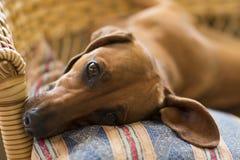Dachshundhund, der ruhig liegt lizenzfreie stockfotografie