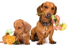 Dachshundhund und -blumen Stockfotografie