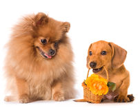 Dachshundhund und Blumen und flaumiger roter Spitz Stockfotografie