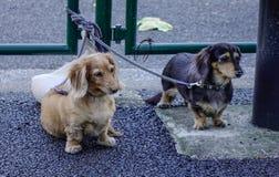 Dachshundhunde in im Freien stockfotografie