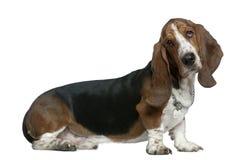 Dachshundjagdhund, 22 Monate alte, sitzend Stockfotos