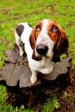 Dachshundjagdhund Lizenzfreie Stockfotos