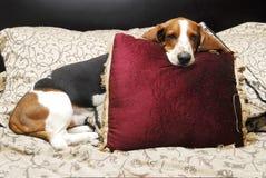 Dachshundjagdhund Lizenzfreie Stockbilder