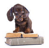 Dachshundr puppy Royalty Free Stock Images