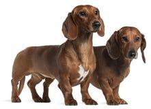 dachshunds Στοκ φωτογραφίες με δικαίωμα ελεύθερης χρήσης