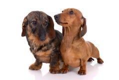 dachshunds 2 Стоковые Изображения RF