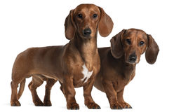 Dachshunds, 4 years old and 7 months old Royalty Free Stock Photography