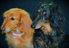 dachshunds Imágenes de archivo libres de regalías