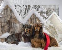 dachshunds Стоковая Фотография