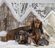 dachshunds Стоковое Фото