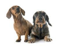 dachshunds 2 Стоковые Фото