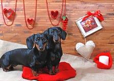 dachshunds στοκ εικόνα