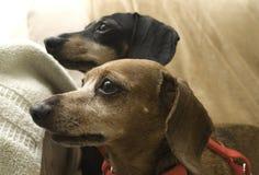 dachshunds Стоковые Фотографии RF