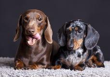 dachshunds Immagine Stock Libera da Diritti