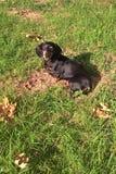 dachshunds Fotografía de archivo libre de regalías