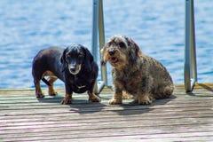 dachshunds 2 Стоковое фото RF