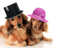 Dachshunds couple wearing hat. stock images