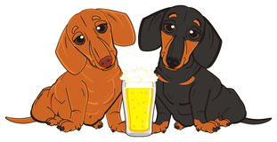 Dachshunds drinking a beer Royalty Free Stock Photo