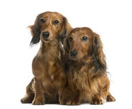 Dachshunds Stock Photography