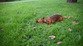 Dachshunds playing stock video footage