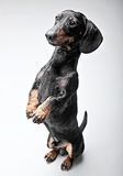 Dachshunds staying in two legs in the white studio. Dachshunds staying in two legs in white studio Royalty Free Stock Images